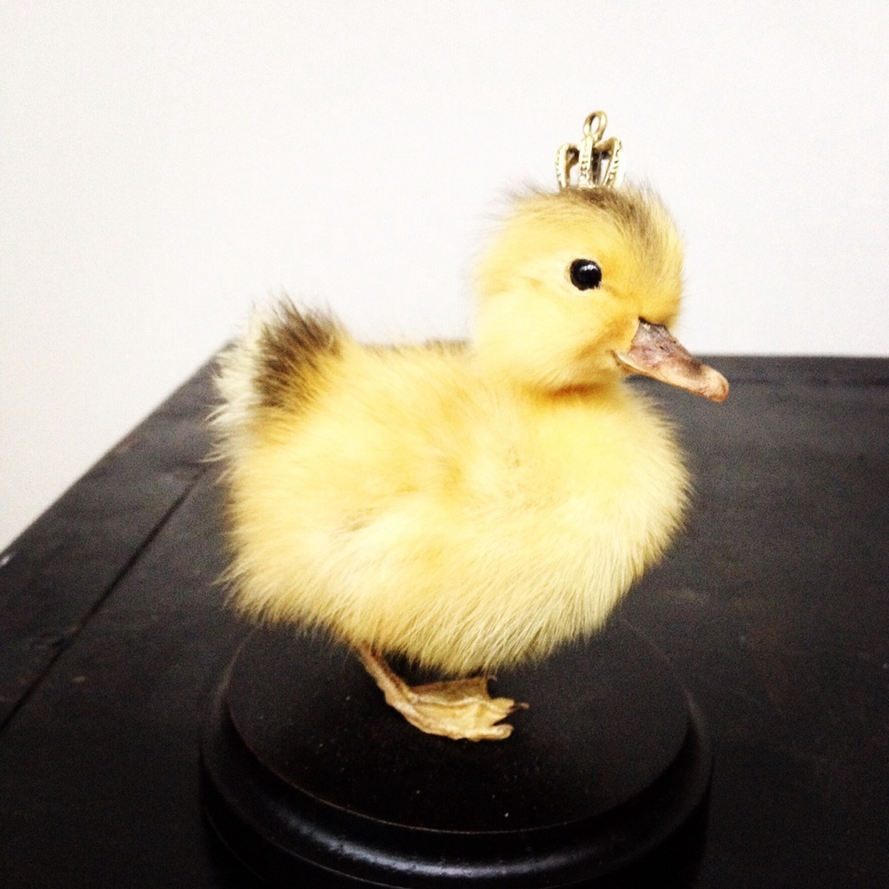 Duckling on a shelf