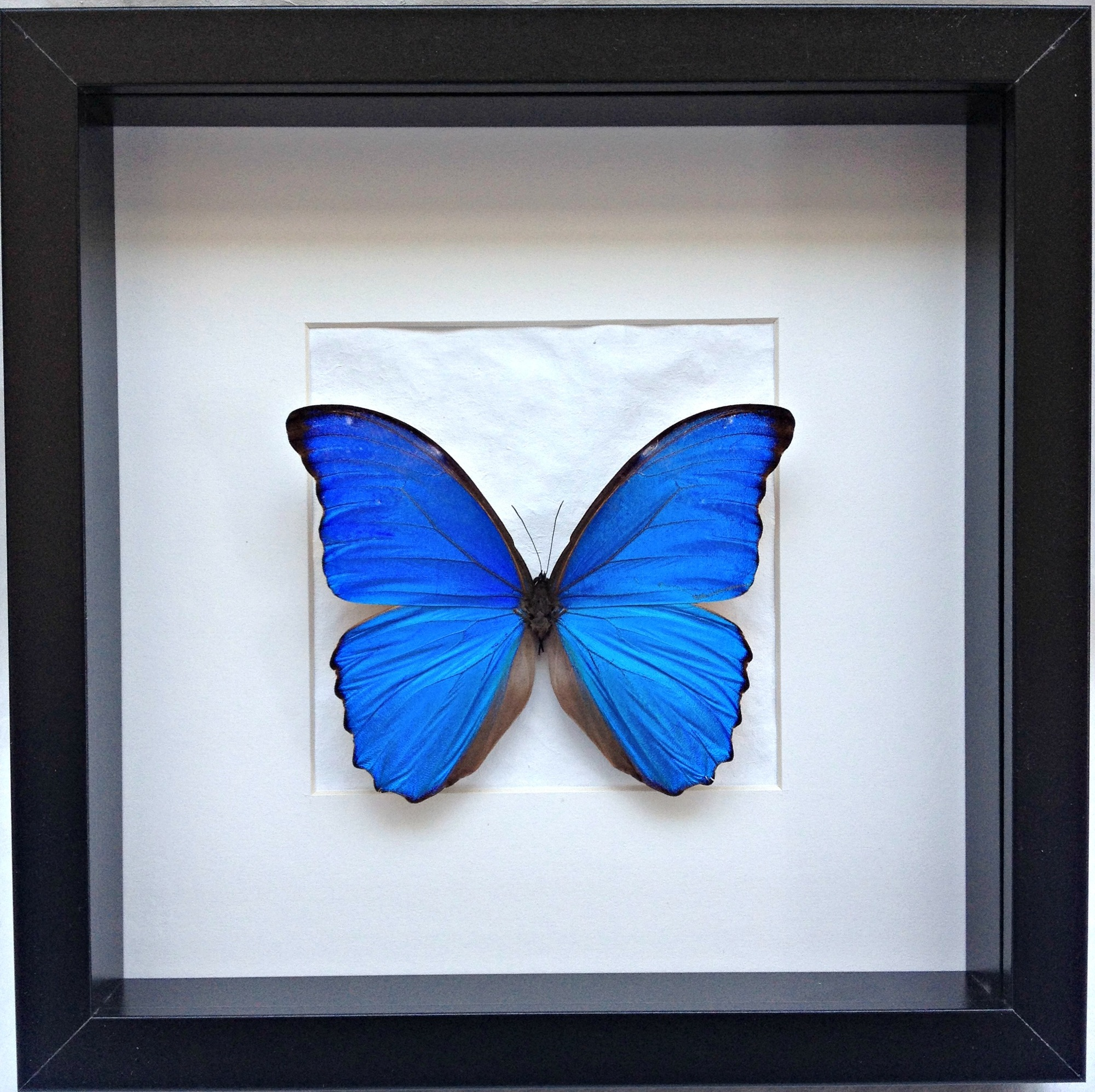 Morpho in kader